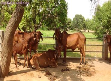 ભારતમાં ગાયની 37 પ્રકારની શુદ્ધ જાતિ જોવા મળે છે. જાણી લો કઈ ગાય સૌથી વધુ દૂધ આપે છે.
